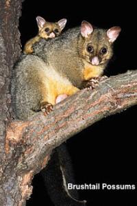 Brushtail-Possums[1]