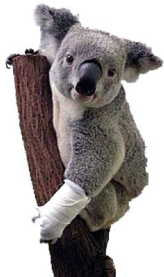 Koala with bandage