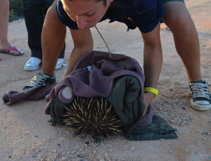 Picking up an echidna