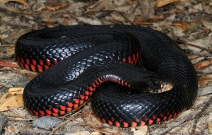 Red-bellied-Black-Snake[1]
